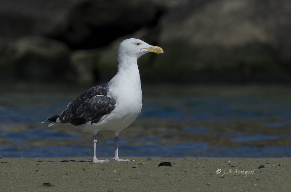 Gavión atlántico, Larus marinus, Greater Black-backed Gull