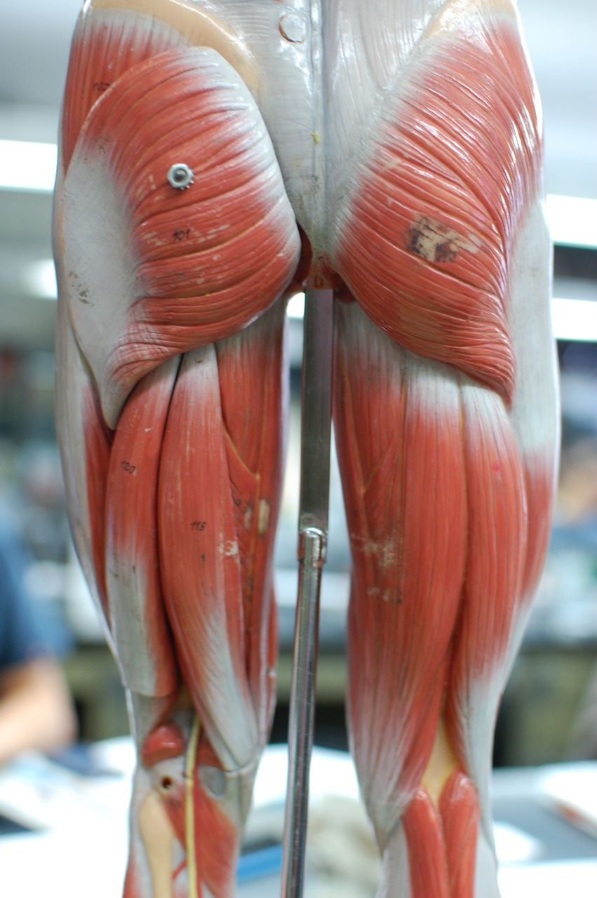 Human Anatomy Lab: Muscles of the Leg