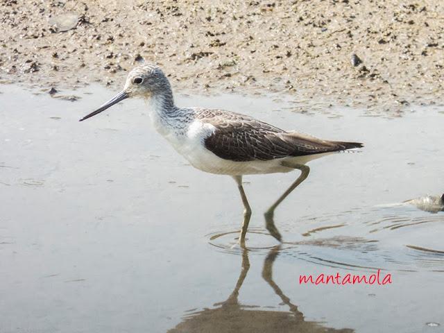 Marsh Sandpiper (Tringa stagnatilus)