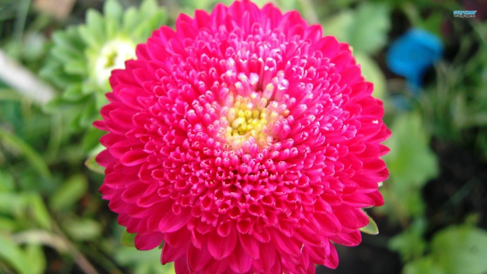 superb wallpapers Chrysanthemum flower