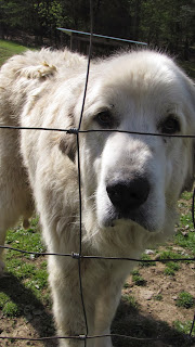 great pyrenees guard dog sheep