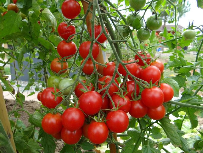 Des mots et des mondes juillet 2015 - Que faire avec des tomates du jardin ...