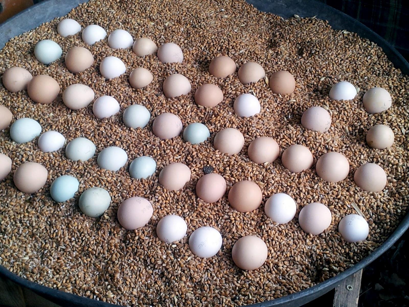 Les cocottes d 39 origne pr sentation - Conservation des oeufs de poule ...
