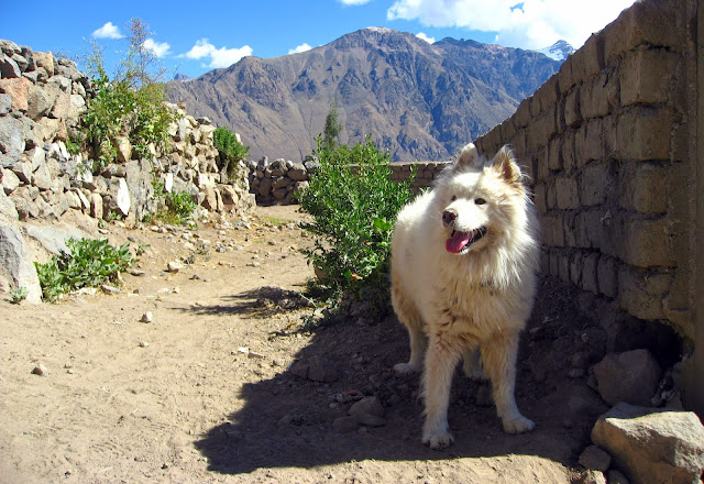 Man's best friend, Colca Canyon, Peru