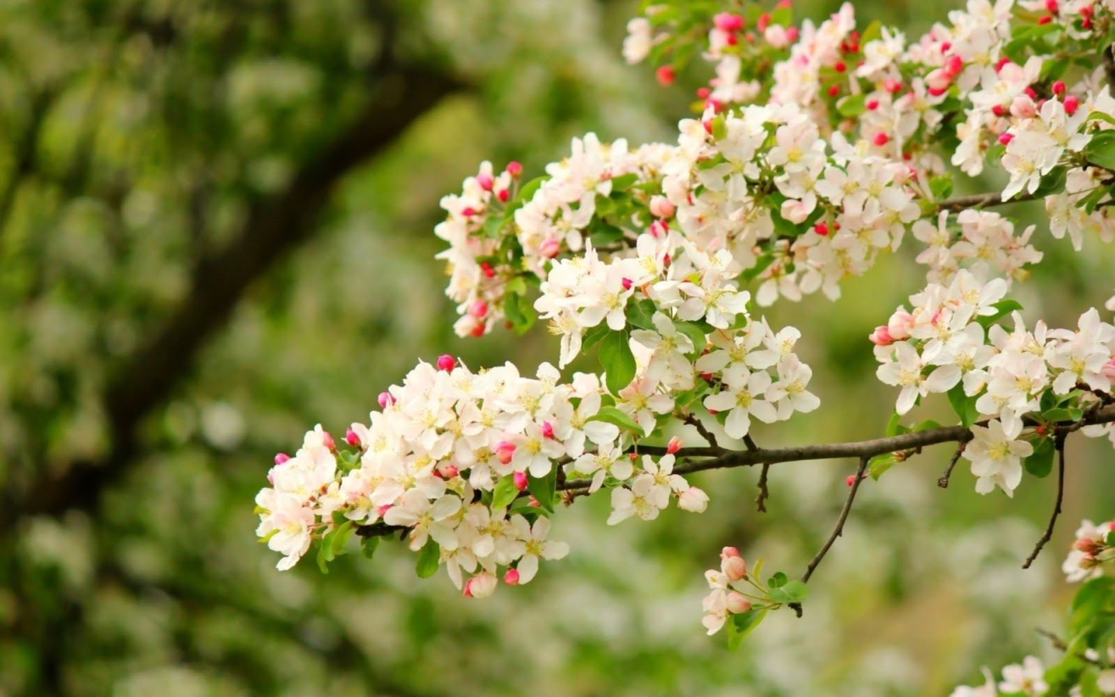 Apple Petals Branch