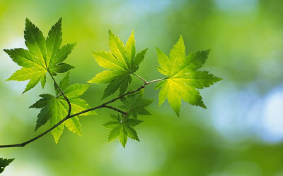 Green Leaves Wallpapers Collections