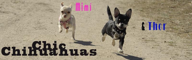 Chic Chihuahuas Mimí y Thor