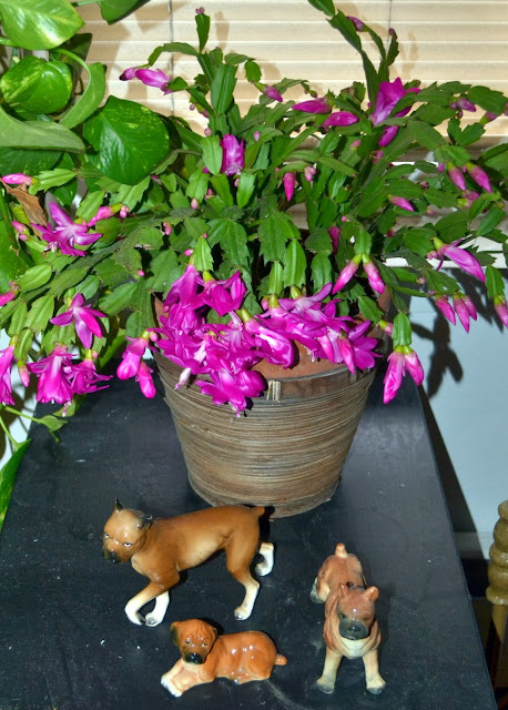 Christmas cactus blossoms on Veteran's Day