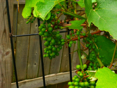 Grapes, Early Stages