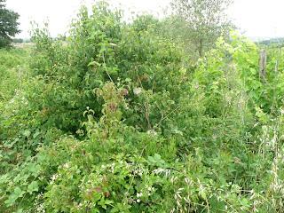 piante infestanti rovo vitalba sanguinella