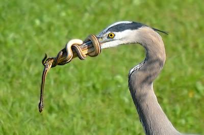 burung makan ular