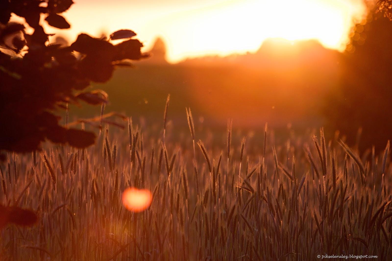 lato, bory tucholskie, zboże, agata raszke