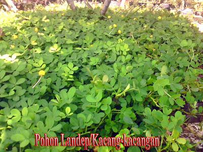 POHON LANDEP/KACANG-KACANGAN