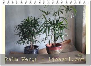Sewa tanaman Palm wergu
