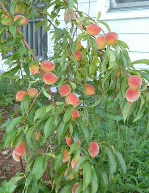 Branches of peach tree bending under weight of fruit