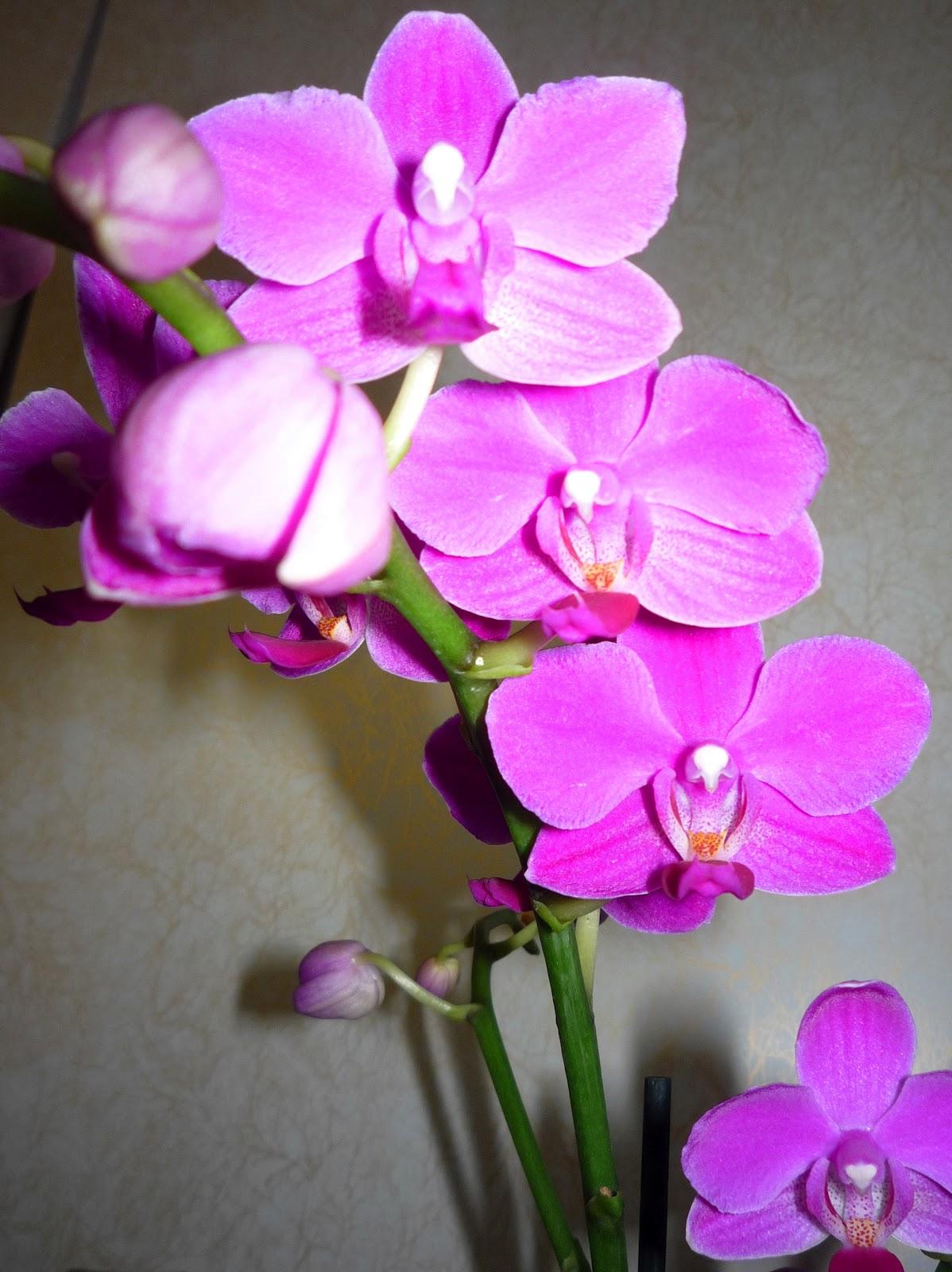 Как выпускает цветы орхидея фото