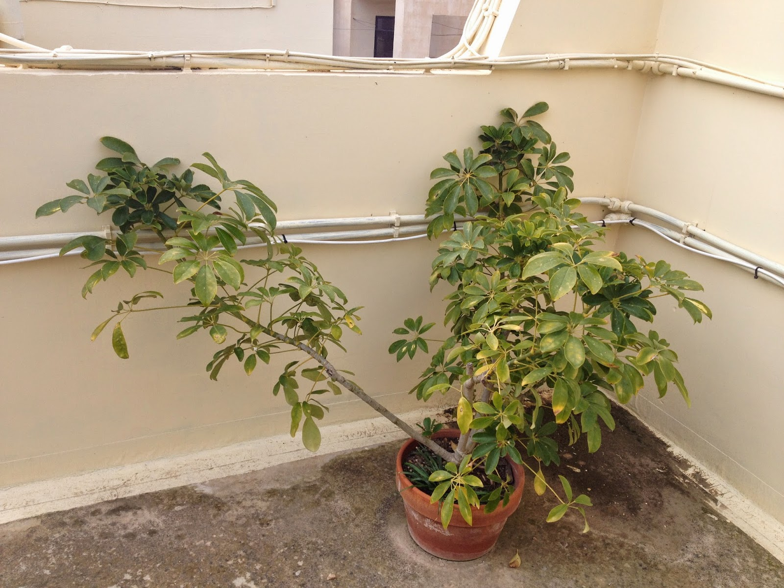 Schefflera on rooftop