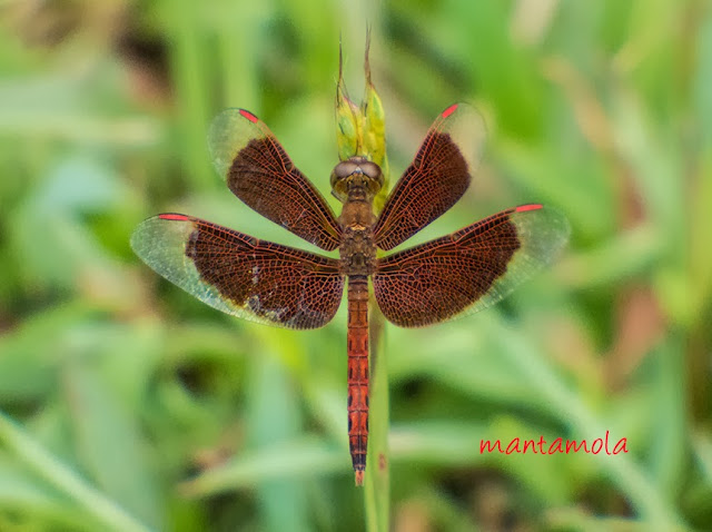 Neurothemis fluctuans (Common Parasol)