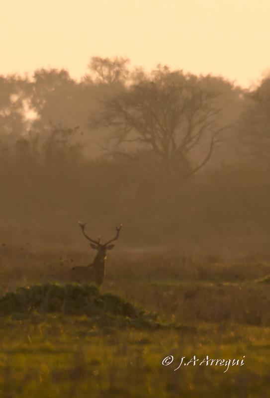 Ciervo, Cervus elaphus, Red Deer