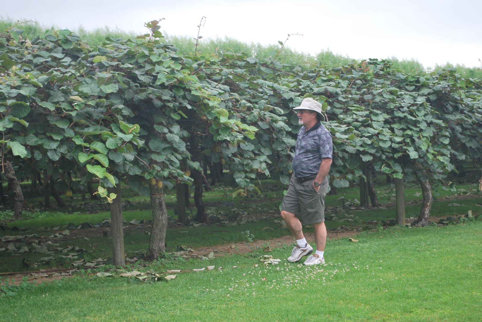Kiwi Fruit Harvesting Picking and Packing - Amazing