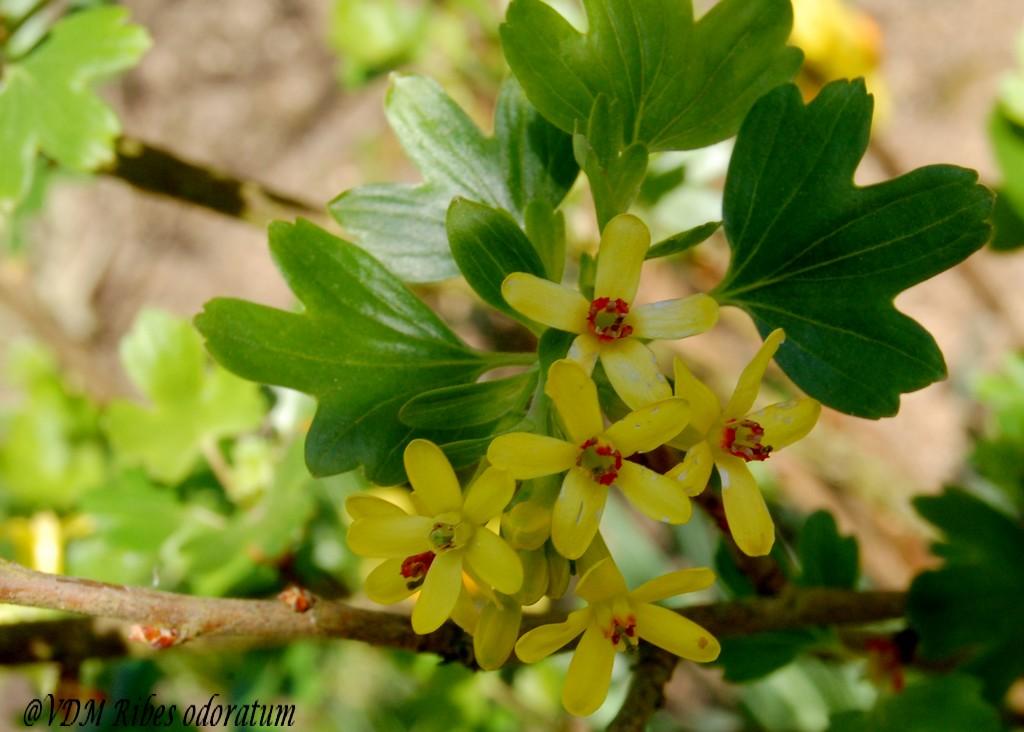 Le jardin de nanny en 2011 ribes odoratum groseillier fleurs jaunes - Arbuste japonais fleur jaune ...