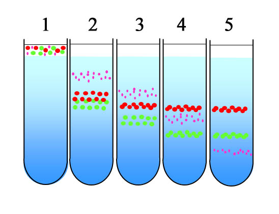 differences between density gradient centrifugation and Density gradient centrifugation the sample is mixed in a dense solution possessing low concentration and having fast diffusing property the mixture is spun in centrifuge but before starting the process the sample is to be in a uniform mixture.