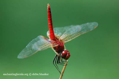 urothemis signata dragonfly