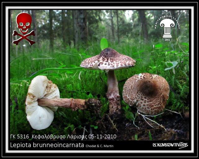 Lepiota brunneοincarnata Chοdat & C. Martin