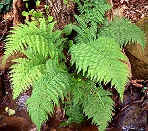 Botanica elemental clasificaci n de las plantas - Cuidados de los helechos ...
