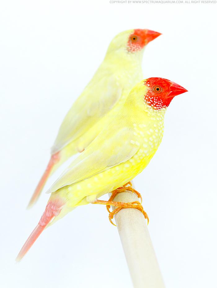 Yellow star finch - photo#27