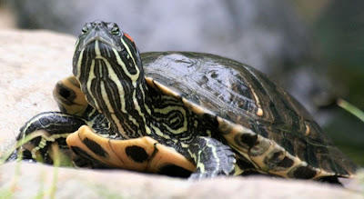 Reptiland, Allenwood PA : Pond Slider turtle :: All Pretty Things