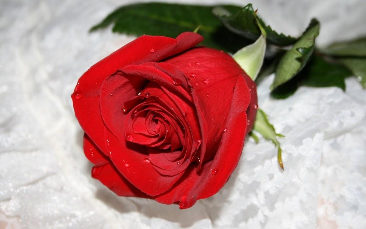 Red Rose Widescreen HD Wallpaper 6