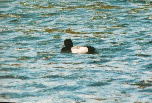LESSER SCAUP-FRODSHAM MARSHES-27TH JUNE 1996