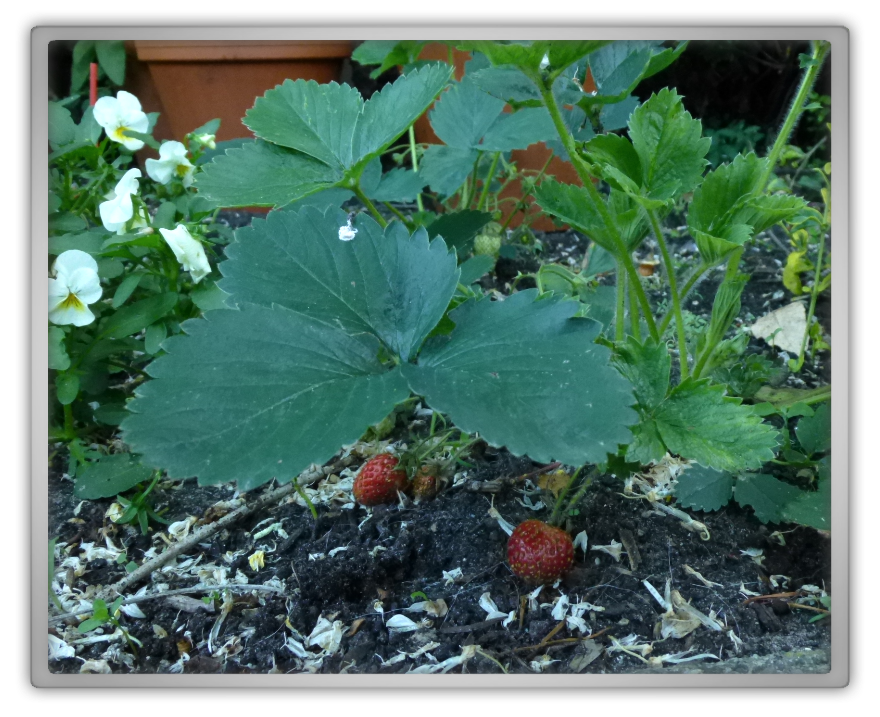 My backyard garden spring summer gardening strawberry plant
