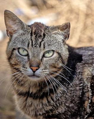 Half-eared tabby tom survivor cat