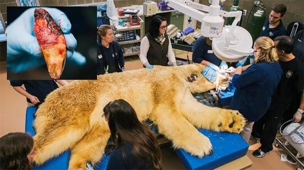 เมื่อหมีขั้วโลกฟันผุ มาดูกันว่าจะมีขึ้นตอนการถอนฟันอย่างไร
