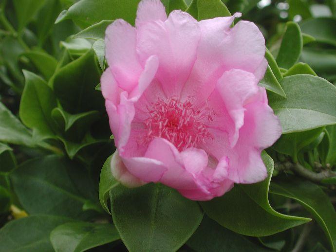 Rosa de Bayahíbe: Nueva flor nacional de República Dominic