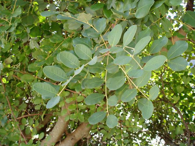 hojas-de-algarrobo-ceratonia-siliqua