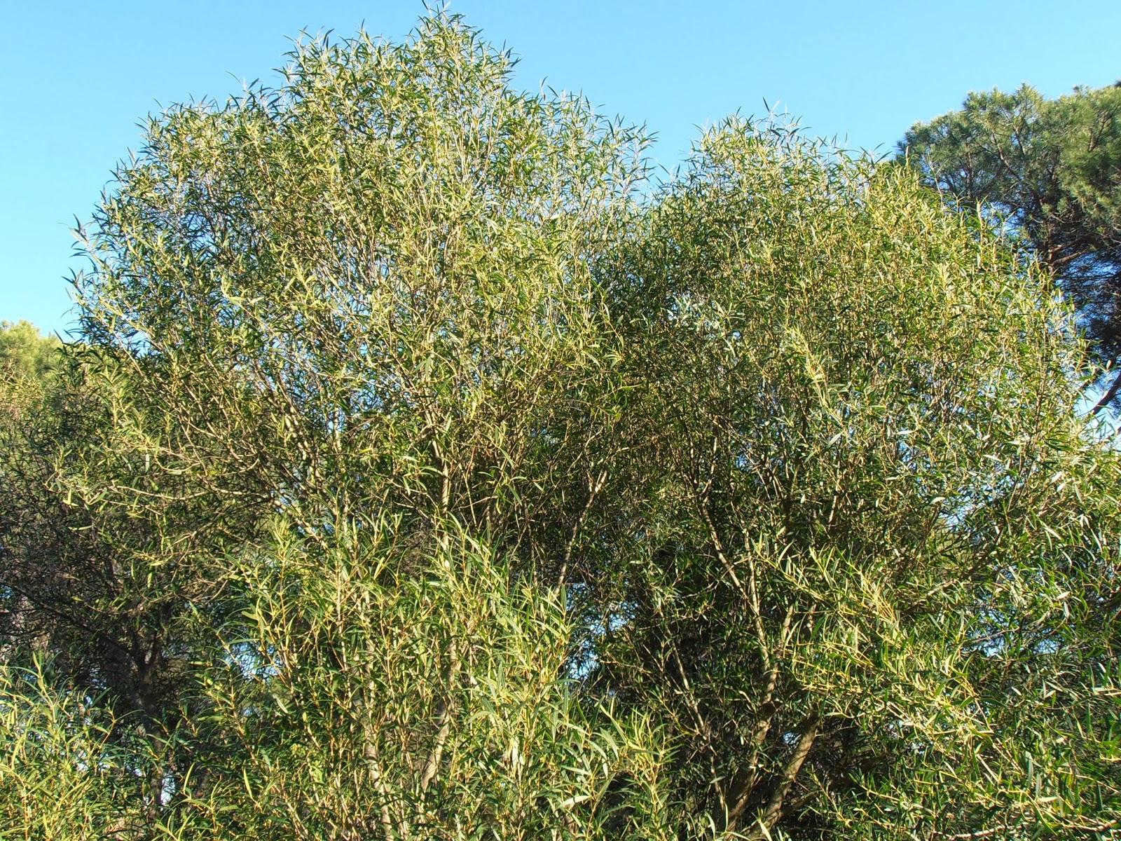 Labiérnago-Phillyrea-angustifolia