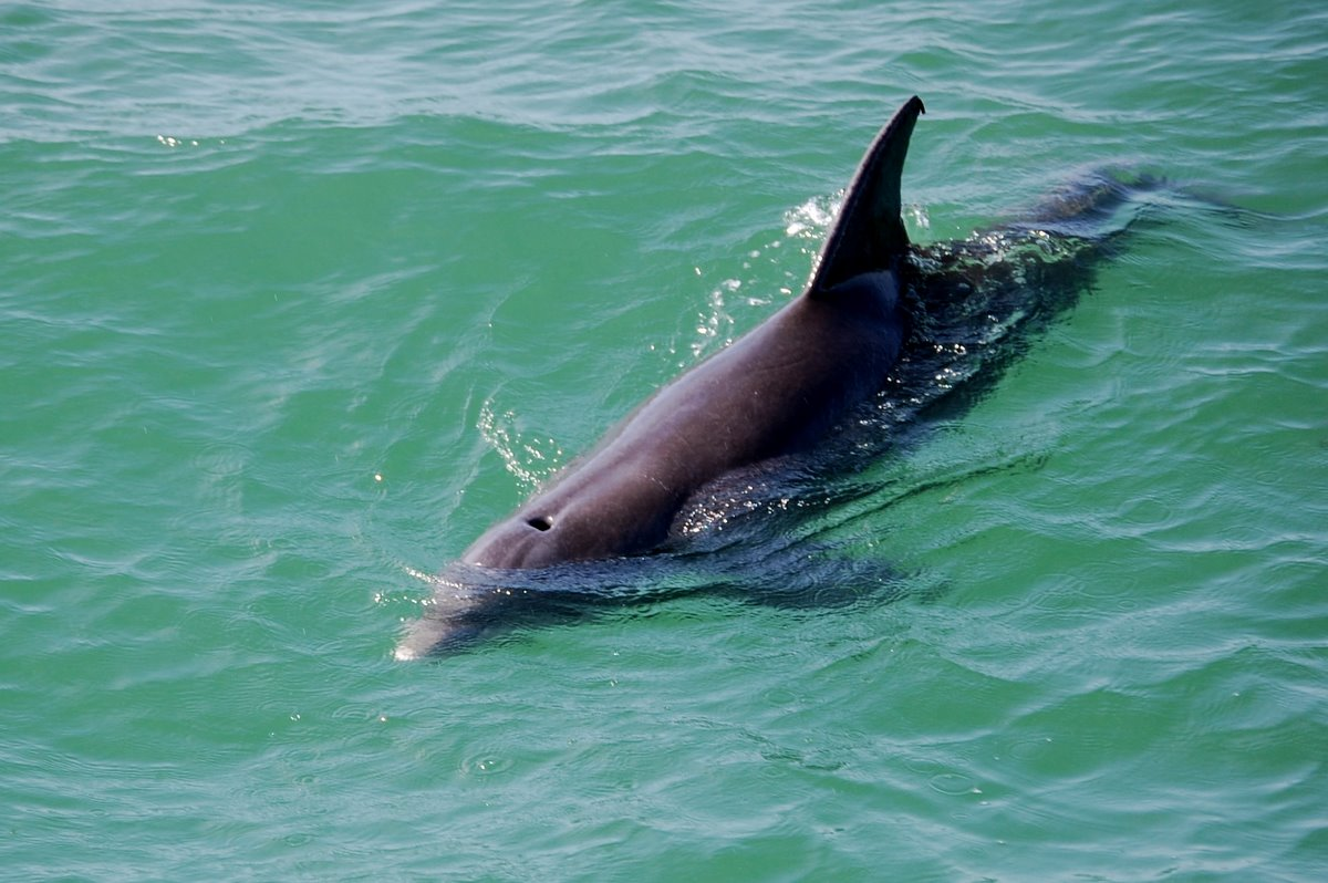 Field notes and photos dolphins of tampa bay for Dolphin fishing florida