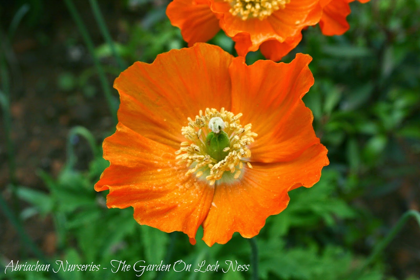 Welsh Poppies Meconopsis cambrica Abriachan Nurseries