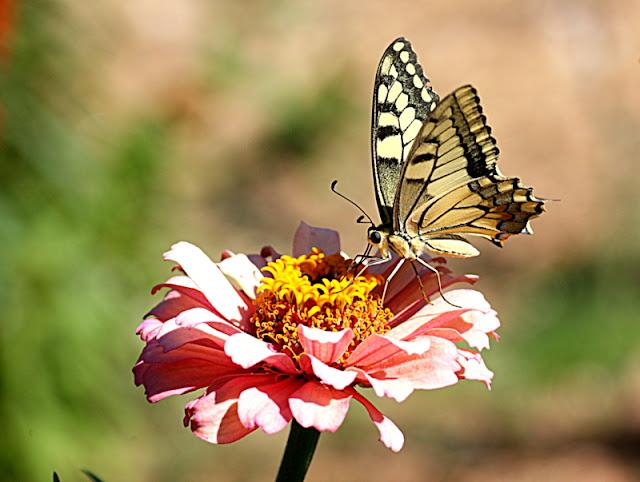 kırlangıç kuyruk kelebeği