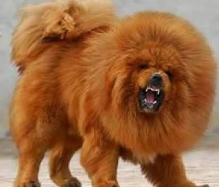... Crazy Planet: Chinese zoo under fire for disguising hairy dog as lion
