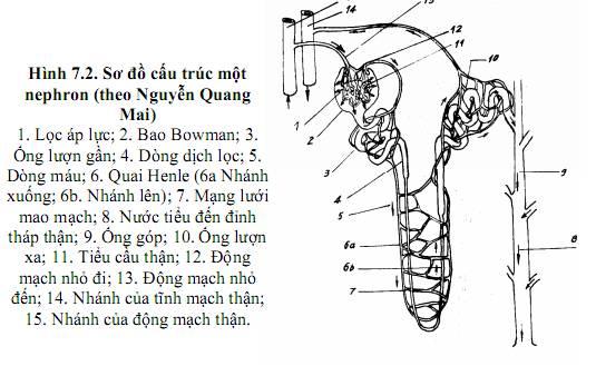 Cấu trúc xoang nephron