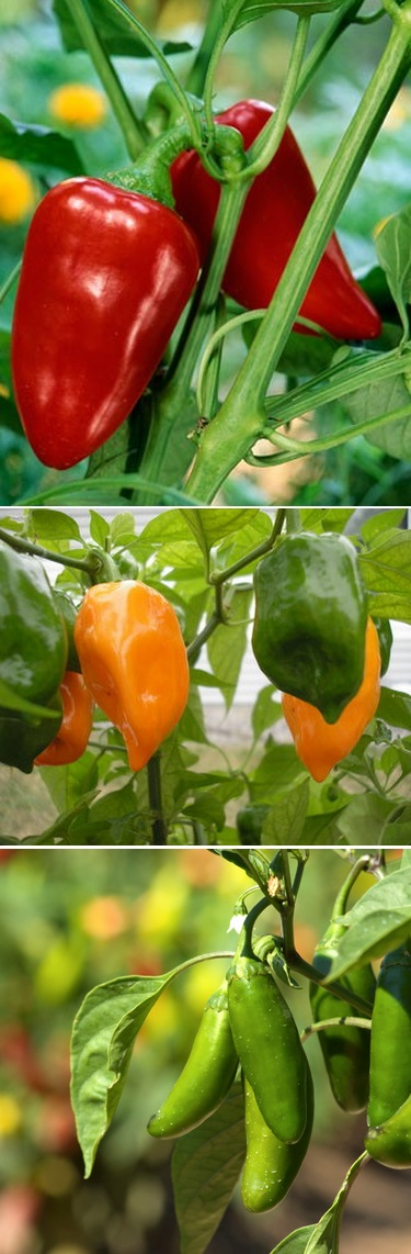 Growing peppers from seed alternative green world - Planting pepper garden ...
