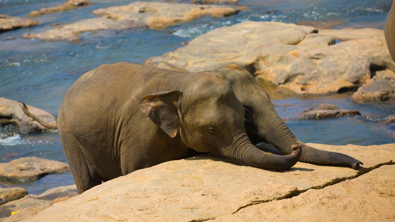 Hd wallpapers desktop elephants hd wallpapers - Baby elephant wallpaper ...