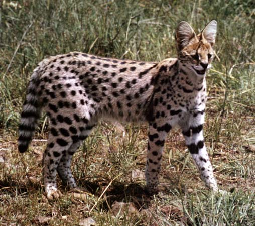 serval cat pictures Photo