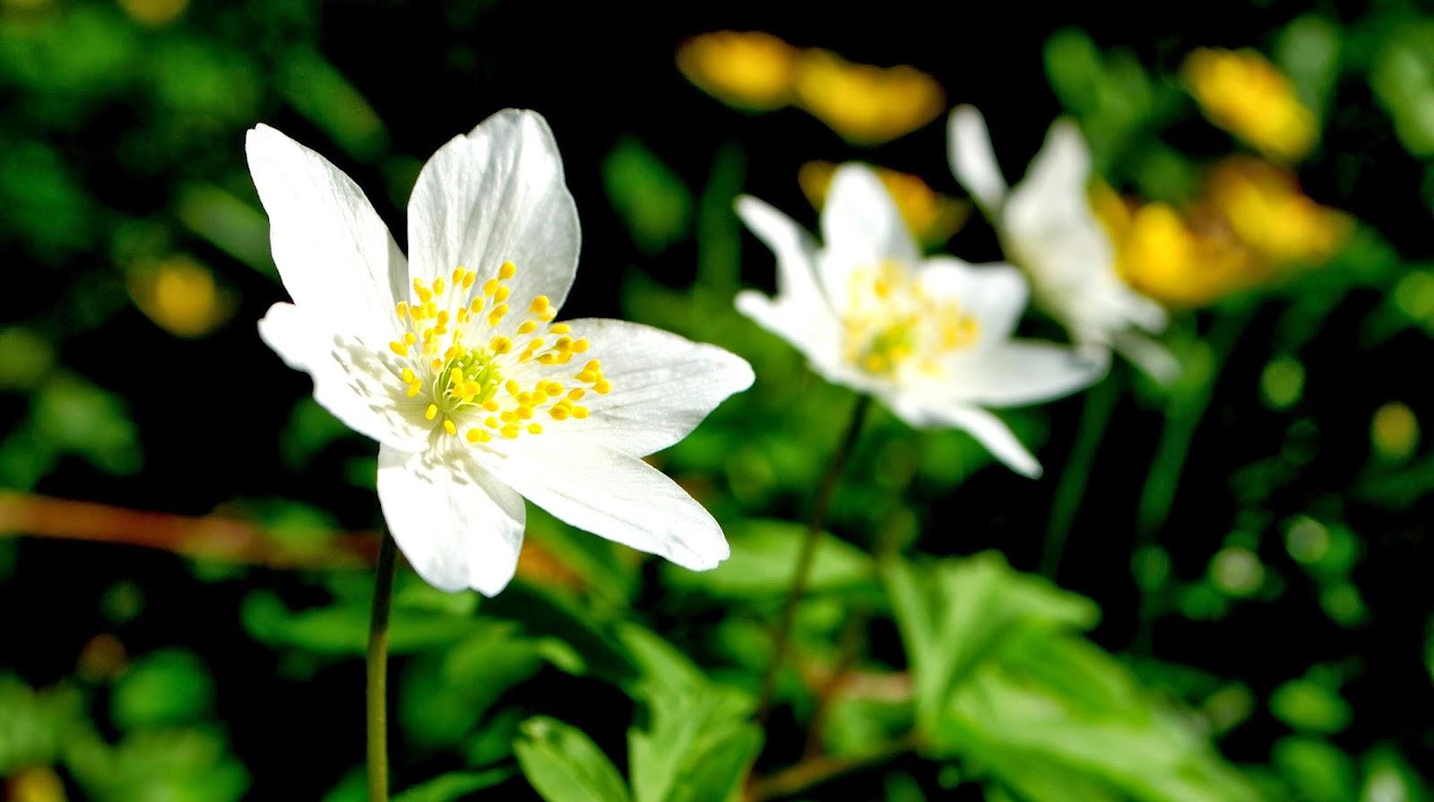 DSC_0576+anemone+tuin.JPG