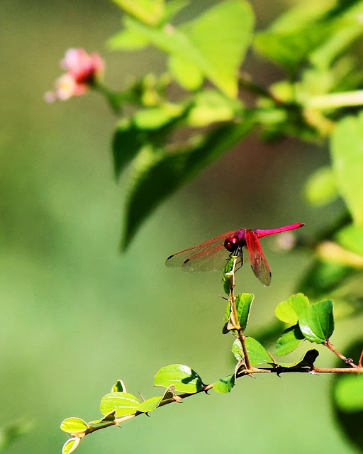 red dragonfly on plant