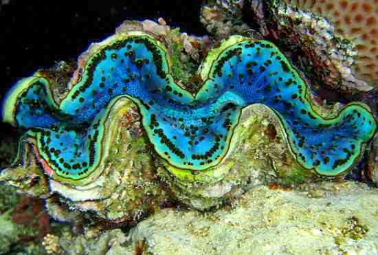 Sciency thoughts a new species of giant clam